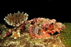 Scorpion Fish Similans by Charles Shaw