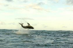 Great white shark breaching, Nikon D2H by Depaulis Carlo