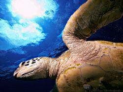 Sipadan island, turtle. by Egor Yakovlev