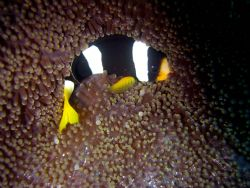 Anemone Fish, protecting the home by Ryan Stafford
