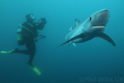 Blue shark and diver off Cape Point, South Africa. by Phil Wills