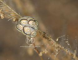 Doughnut nudibranch (doto sp) by Arno Enzo