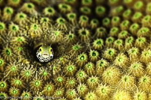 Secretary Blenny with a colorful home by Chase Darnell
