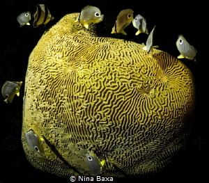 Midnight Snack - Butterflyfish feeding on spawning Brain ... by Nina Baxa