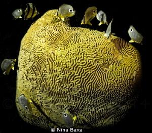 Midnight Snack - Butterflyfish feeding on spawning Brain ... by Nina Baxa