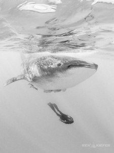 Freediver underneath a whale shark off Isla Mujeres, Mexico by Ken Kiefer