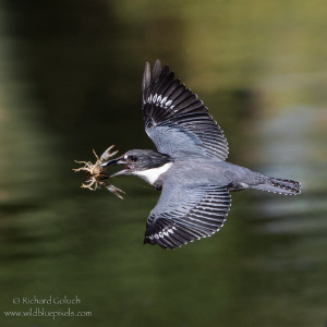 Belted Kingfisher with Crayfish. by Richard Goluch