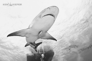 Lemon shark by the boat by Ken Kiefer