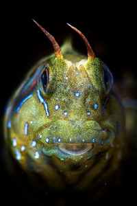 sphinx blenny by Marco Gargiulo