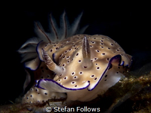 Smile ... ! Nudibranch - Hypselodoris tryoni. Ang Thong, ... by Stefan Follows