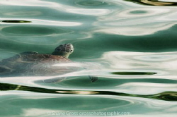 A green sea turtle rises for a breath. by Shane Gross