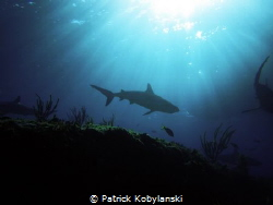 Caribbean Reef Shark swimming off Bimini, Bahamas by Patrick Kobylanski
