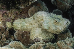 Devil scorpionfish by Arno Enzo