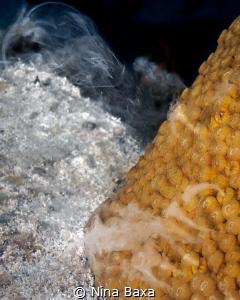 Spawning Star Coral by Nina Baxa