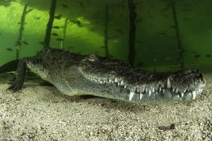 Crocodylus acutus_9 by Mathieu Foulquié