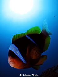 Clowning around with a vicious clarks anemone fish and be... by Adrian Slack