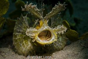 Ambon Scorpionfish by Volker Lonz