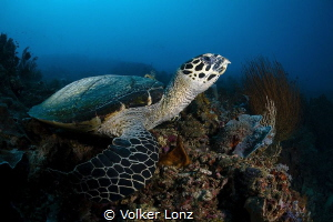 Turtle watching the reef by Volker Lonz