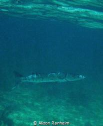 Barracuda! by Alison Ranheim