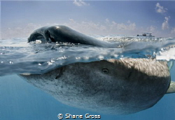 A tourist boat looks on as a whale shark feeds at the sur... by Shane Gross