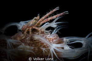 Springcrab on a coralstick at night. by Volker Lonz