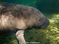 Baby manatee hanging out in the spring run during winter. by Jennifer Cheatham