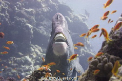 hammerhead (or bumphead) parrotfish caught by surprise...... by Enzo Quarenghi