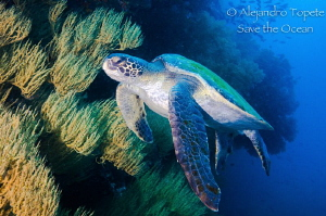 Turtle with the reef by Alejandro Topete