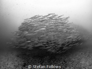All for one ... Chevron Barracuda - Sphyraena qenie. Sail... by Stefan Follows