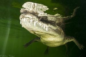 Crocodylus acutus_10 by Mathieu Foulquié