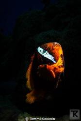 Old Rock 'n' Roll star I've done several dives at anemon... by Tommi Kokkola