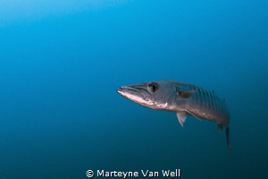 "Barracuda ""Up Close & Personal"" by Marteyne Van Well"