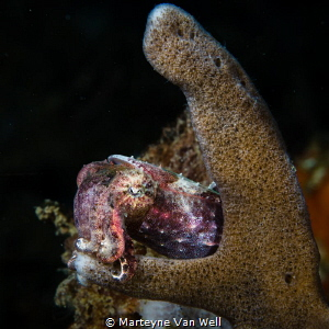Pygmy Cuttlefish taking a nap by Marteyne Van Well