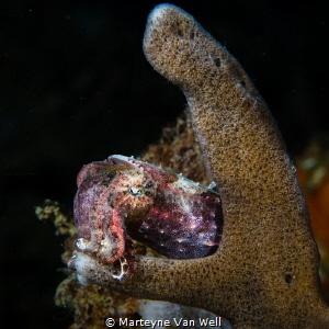 Pygmy Cuttlefish taking a nap by Marteyne Van Well
