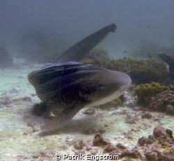 Leopard Shark Daymaniyath islands by Patrik Engstrom