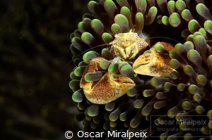 porcelain crab by Oscar Miralpeix