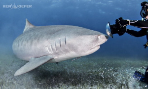 Tiger shark inspects the dome port of a photographer.