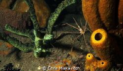 Arrow crab....Soft Sponge. It just has a little mood to it. by Chris Miskavitch
