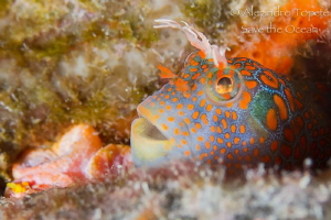 Blenny Mandarin, Plataforma Tiburon by Alejandro Topete