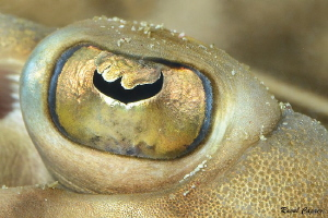 Golden eye,  Eye of a guitarfish (Zapterix exasperata) by Raoul Caprez