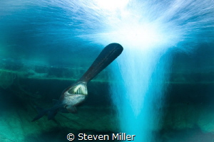 Paddlefish with 8 second shutter composite by Steven Miller