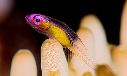 """""""I'm looking through you"""". Red-eye Gobi. D2x 105mm 2xtele... by Rand Mcmeins"""