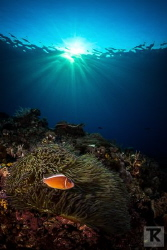 Pink Anemonefish at Green Island evening light. by Tommi Kokkola