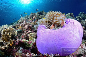 anemone by Oscar Miralpeix