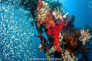 Happy lion fish at Cedar's pride wreck. by Mehmet Salih Bilal