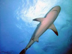 This is a picture of Reef shark on a shark dive in the Ba... by Allyssa Arnold