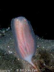ascidian, Banksia Sea Squirt (Sycozoa pulchra) by Bill Van Eyk