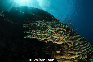 Daedalus reef – Northwest side by Volker Lonz