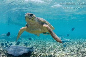 Turtle whit manta by Alejandro Topete