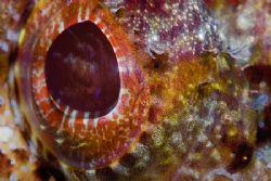 Scorpion fish eye detail (supermacro tech). by Francisco Nakahara